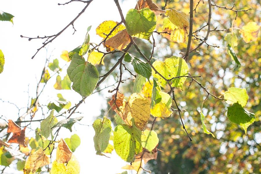 Biergarten Kastanienbäume Blätter